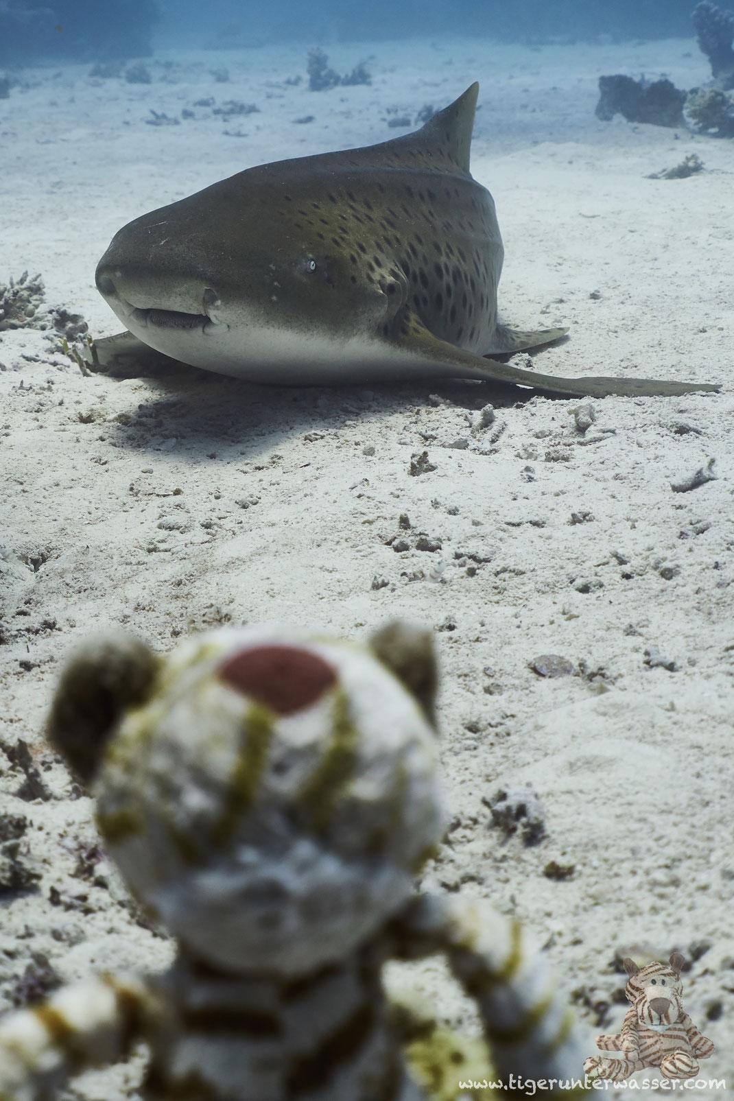...noch ein Tiger Hai....
