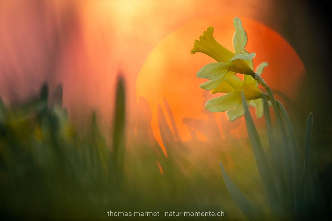 Aprilglocke, gelbe Narzisse, Osterglocke