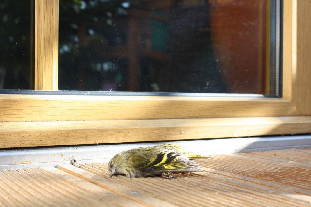 Tödliche Kollisionen mit Fensterscheiben sind nicht selten.