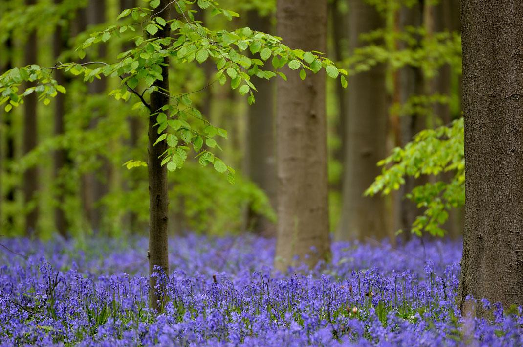 Ein blauer Teppich aus Hasenglöckchen umschmeichelt die Stämme.