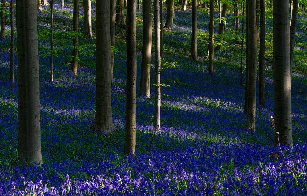 Wie ein blauer Teppich, der auf dem Waldboden verlegt wurde