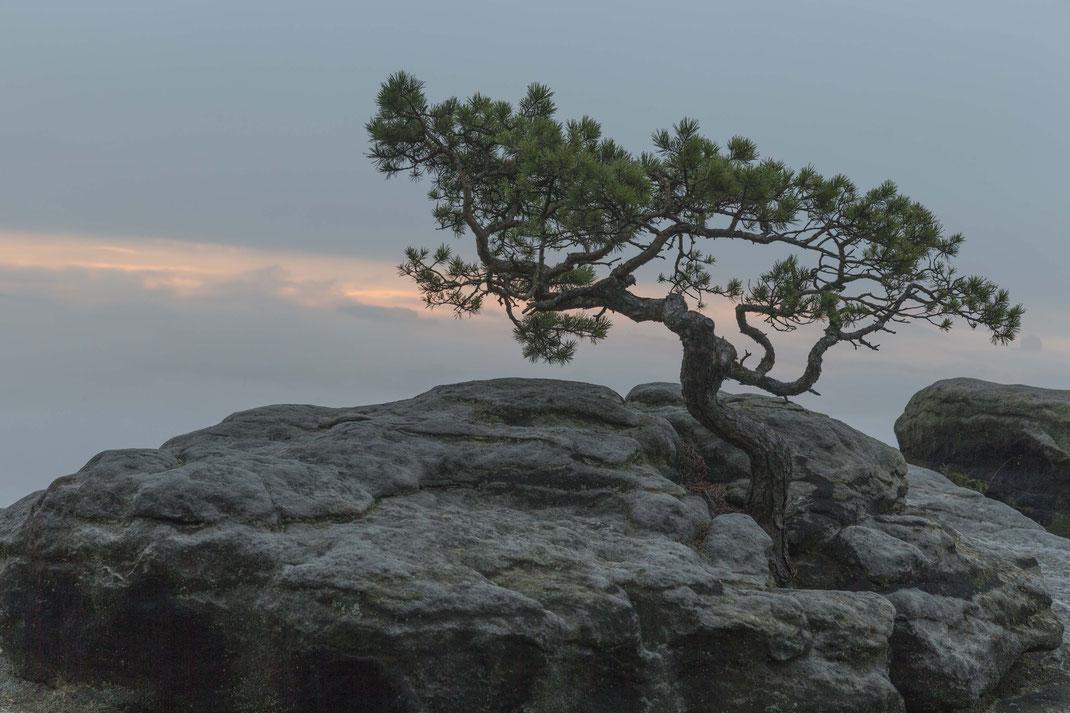 Lilienstein Ostseite Wetterkiefer (ca. 1,5 m Hoch nie gemessen), aber sehr alt. Ich schätze 80 Jahre alt, habe darüber auch mit einem Mitarbeiter der Nationalparkverwaltung gesprochen. Der das Alter nicht wüste, aber selbiger Meinung ist.