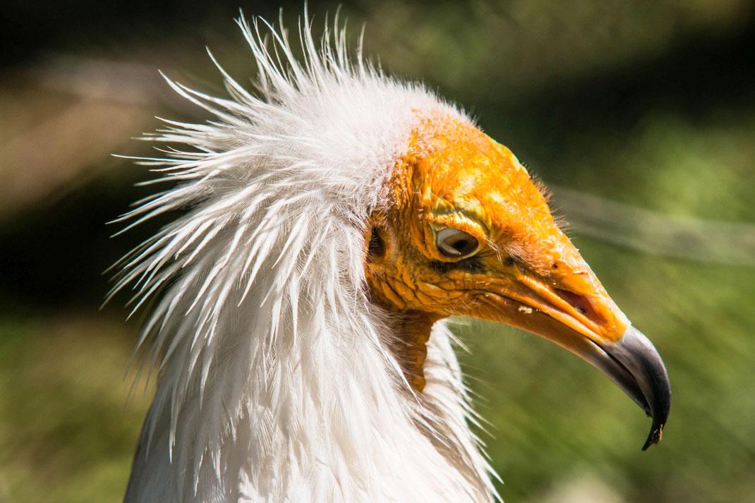 schmutzgeier-tiere-vogel-voegel