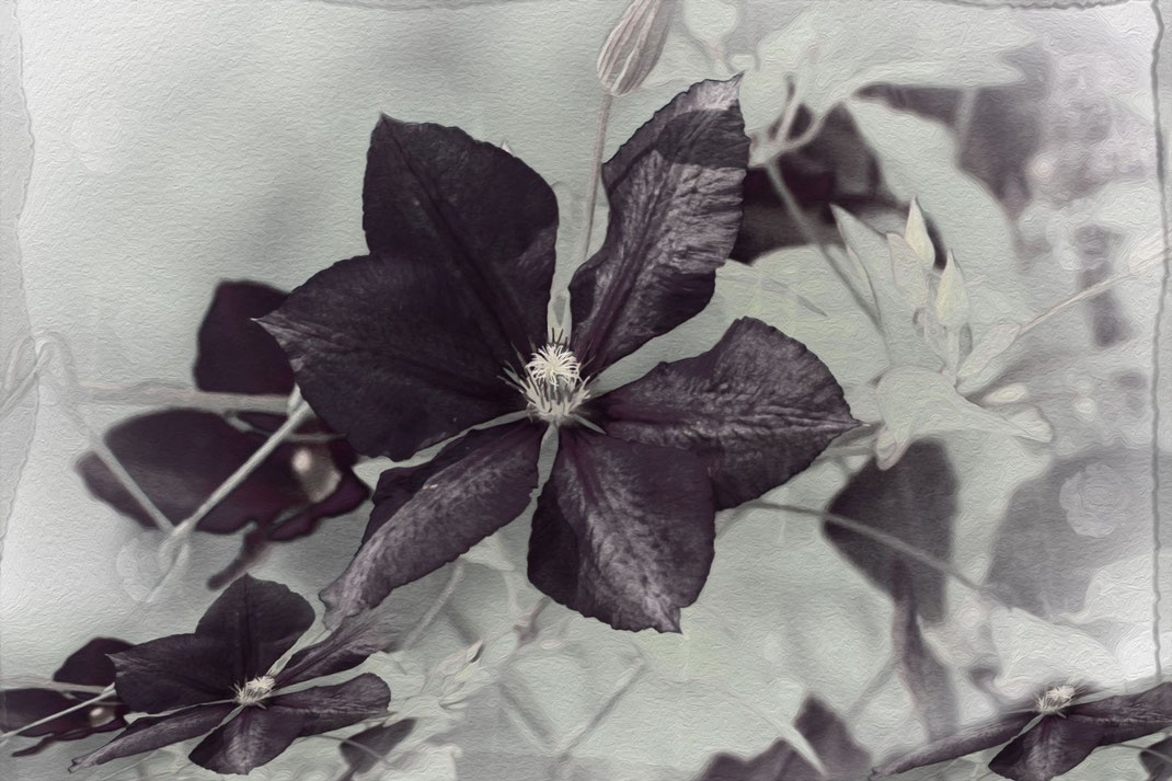 clematis-artwork