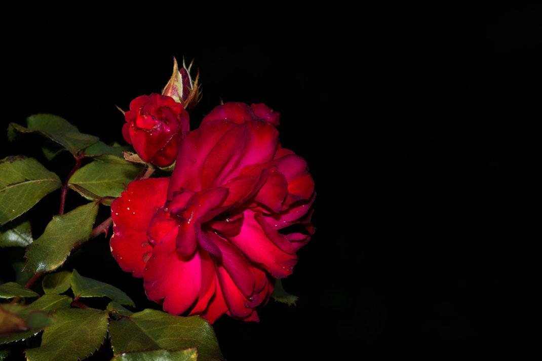 Aufgeblühte rote Freilandrose mit Knospe auf schwarzem Hintergrund - Rosenbilder downloaden