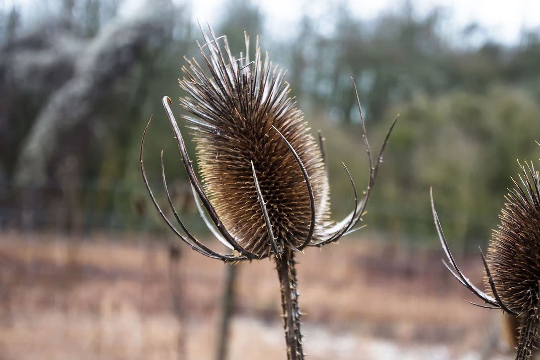 distel-im-winter