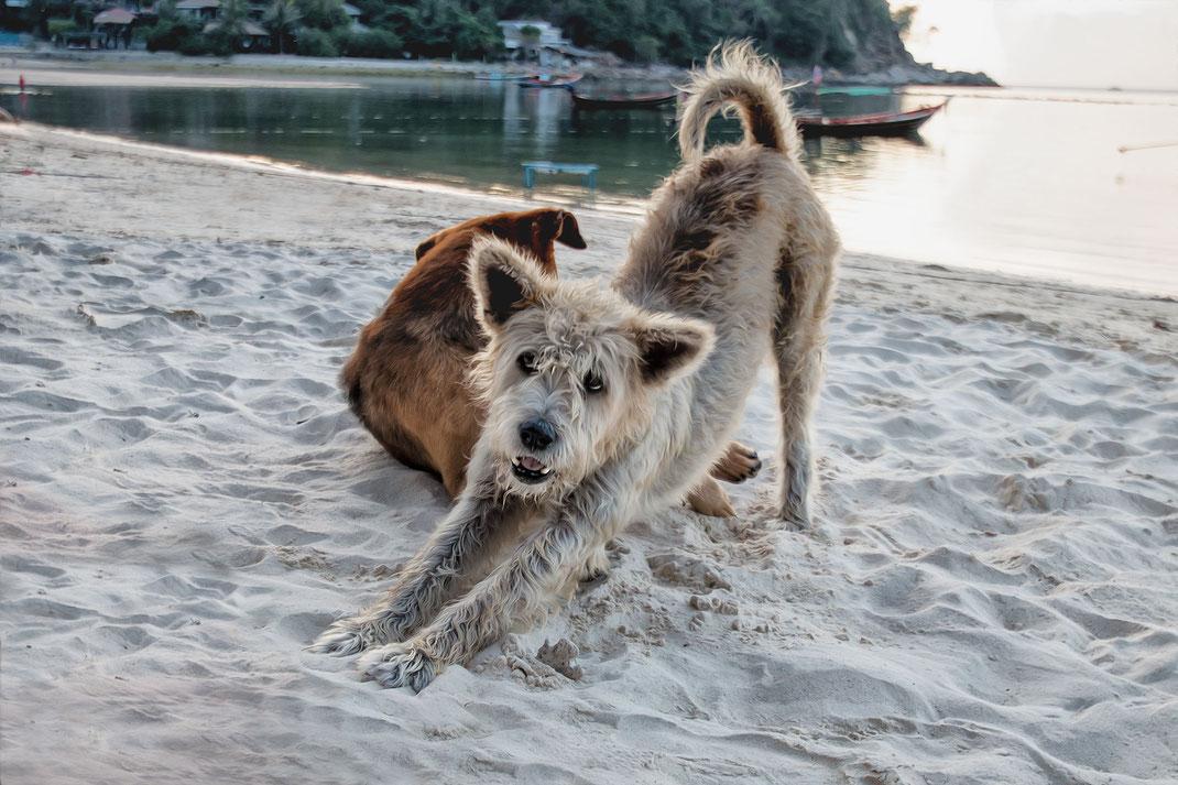 strandhunde-strassenhunde-streuner-koh-phangan