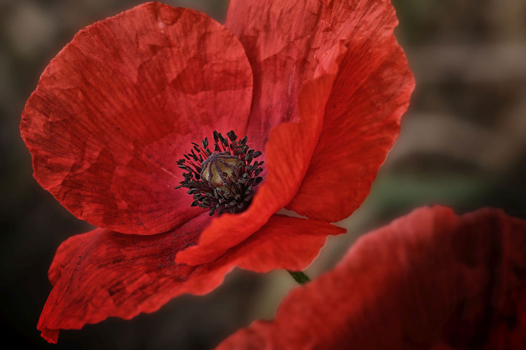 roter-mohn