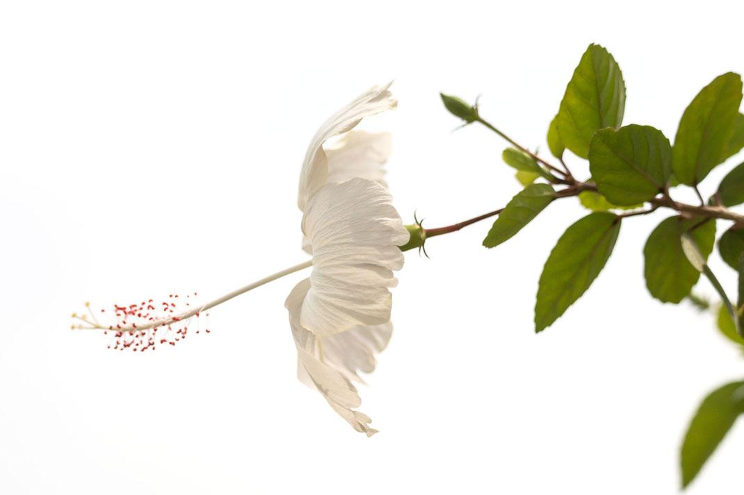 weisser-hibiskus