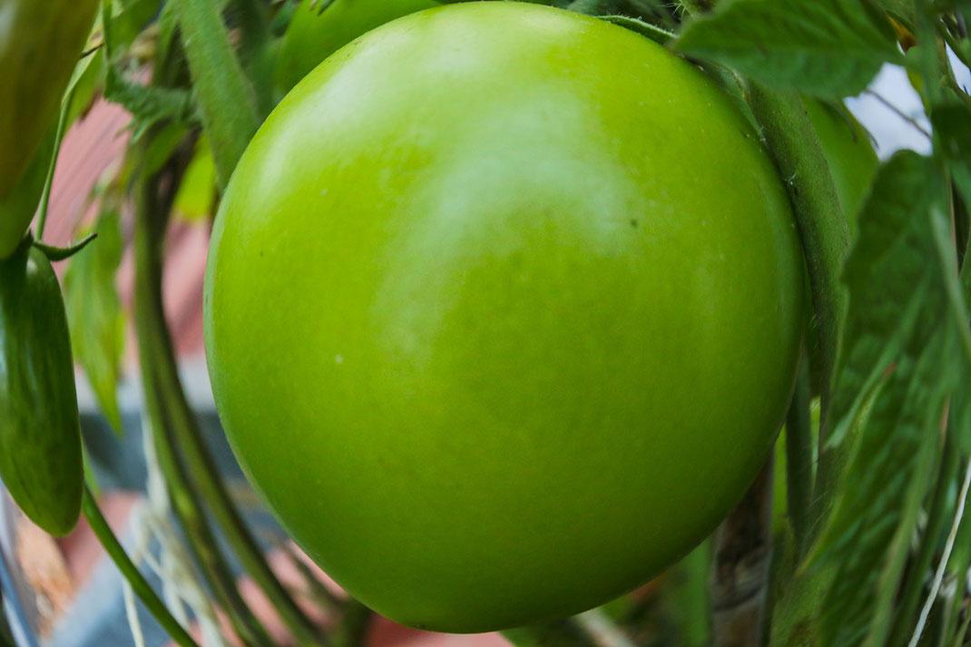 Grüne Tomate am Strauch