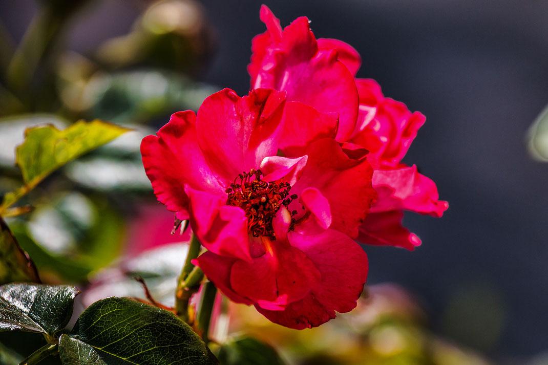 Rote voll erblühte Heckenrose - Rosenbilder downloaden bei www.mjpics.de