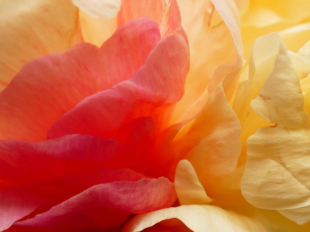 Sylvie Lander-lumières-fleurs-couleurs-transparences-eclats-paeonia-pivoines