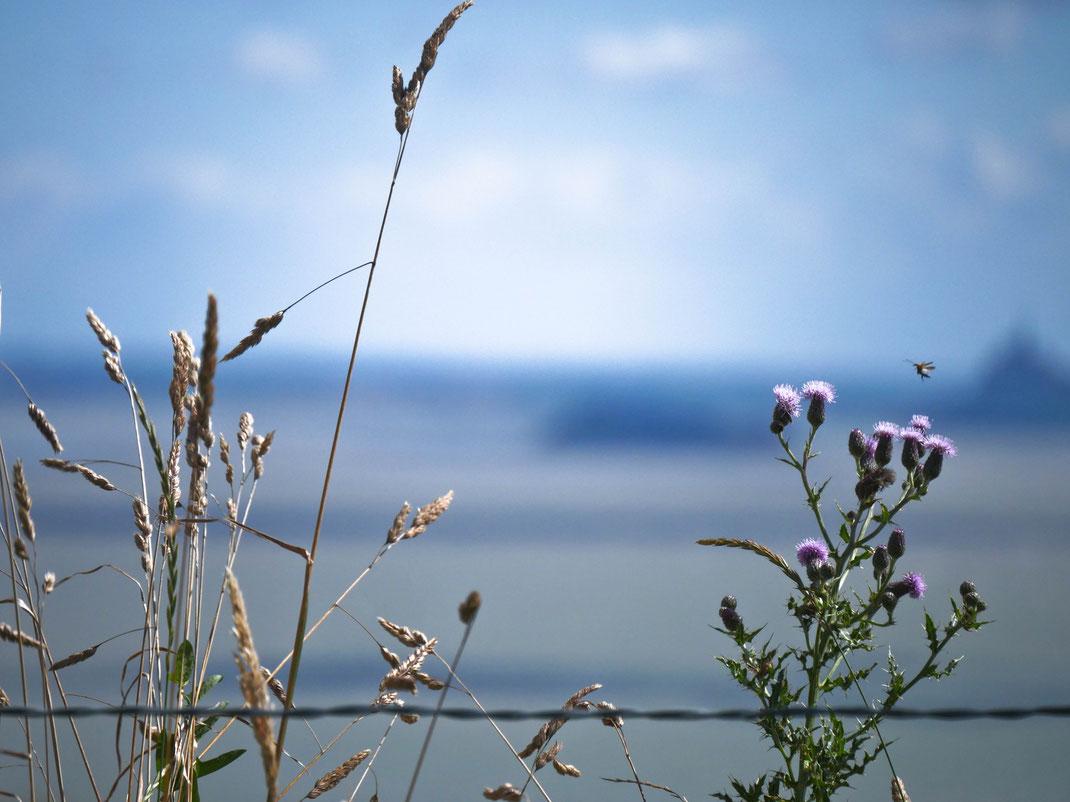 Fleurs sur la baie du Mont-Saint-Michel