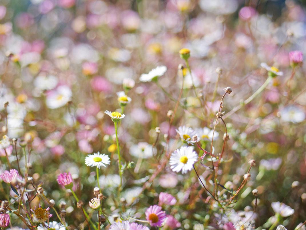 Fleurs des champs, Bretagne