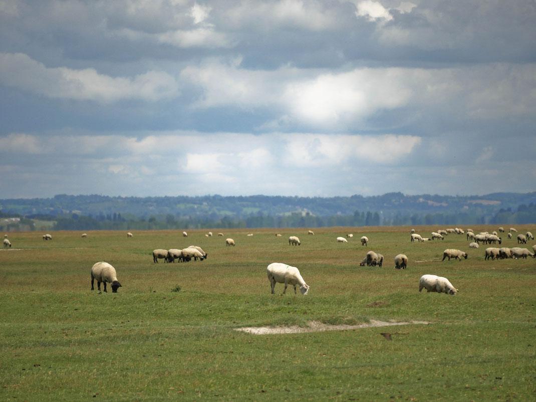Moutons dans la baie du Mont-Saint-Michel