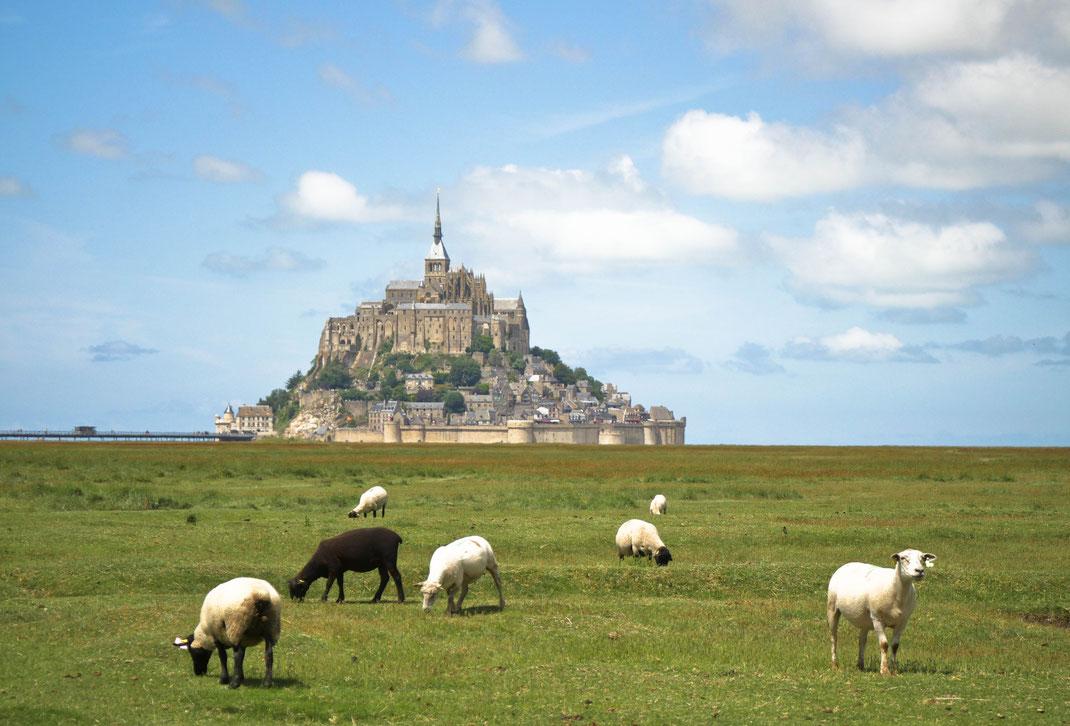 Moutons sur la baie du Mont-Saint-Michel