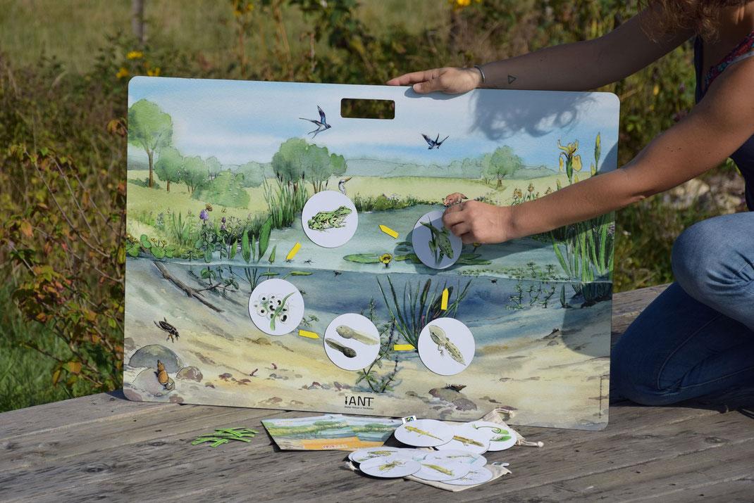 outil pédagogique, nature, mare, cycle de vie, grenouille, triton,  moustique, libellule, tableau magnétique