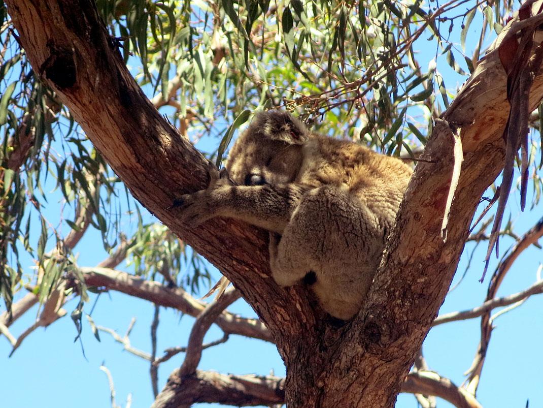 Die Koalas schlafen den ganzen Tag.