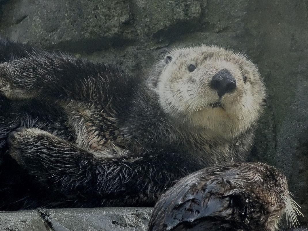 Der Seeotter, ist ein Raubtier aus der Familie der Otter. Er ist neben dem Küstenotter des Südpazifiks die einzige Otterart, die nur im Meer lebt.