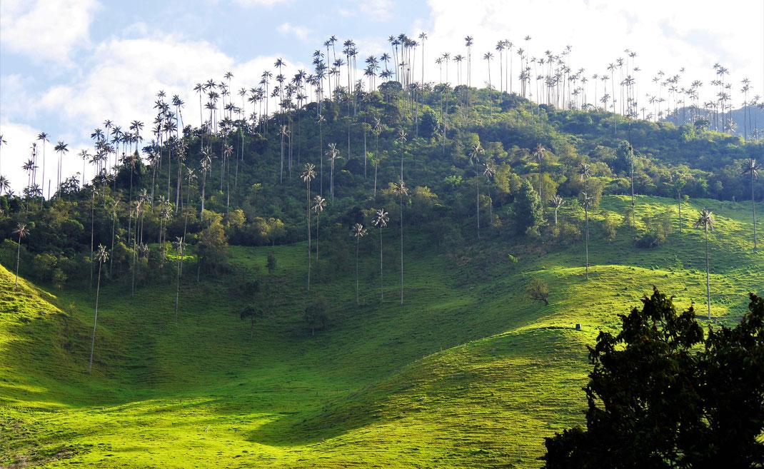 Blick auf ein Areal mit Wachspalmen - später werden wir da direkt durchwandern... Valle de Cocora, Kolumbien (Foto Jörg Schwarz)