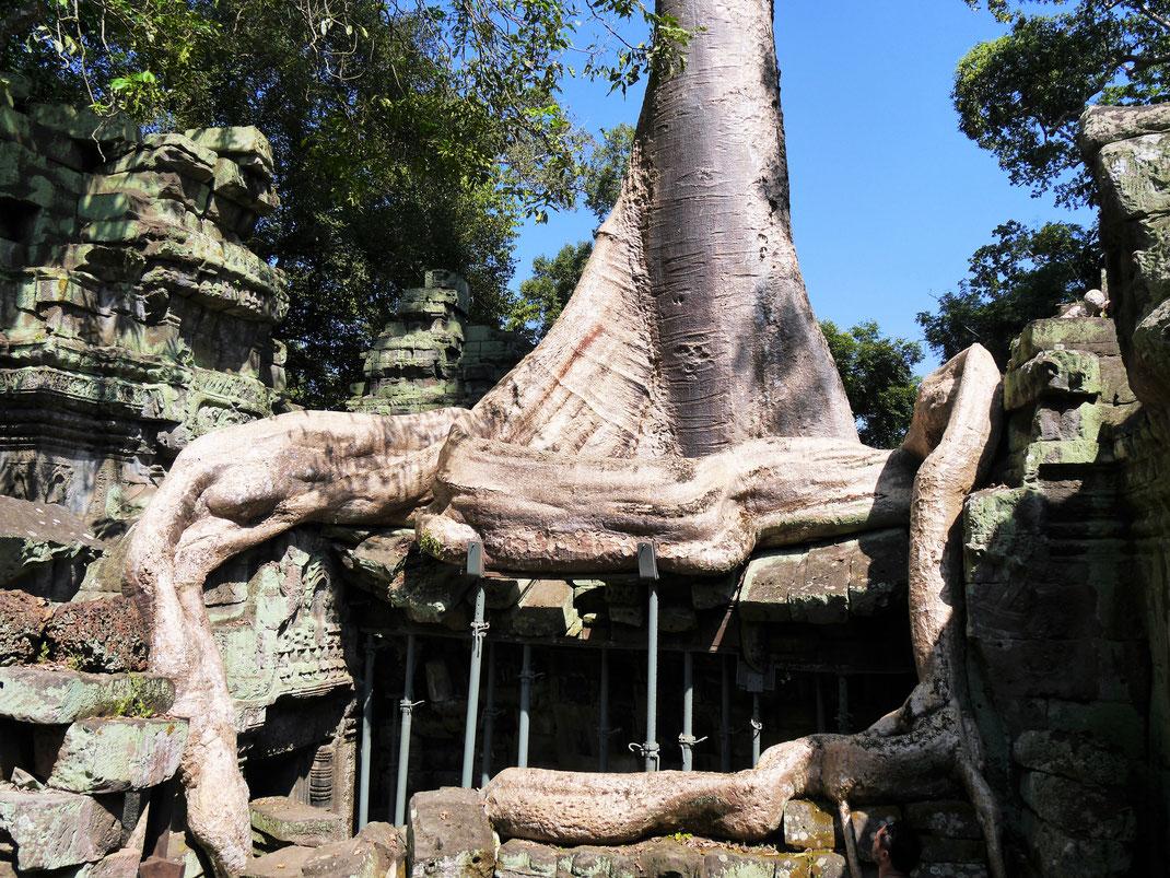 Das Bauwerk kann den Baum wohl nicht mehr tragen... Ta Prohm, Kambodscha (Foto Jörg Schwarz)