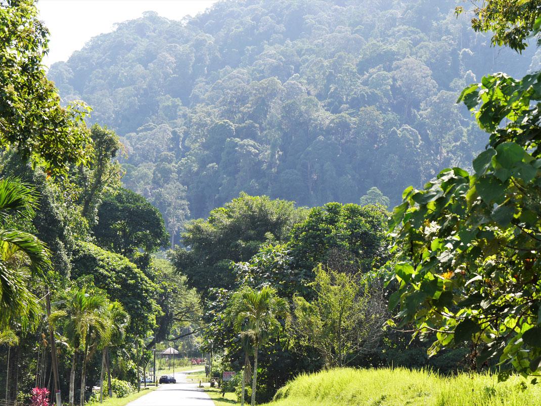 Auf dem Rückweg zur Stadt: Der Blick zurück auf den üppig bewachsenen Gunung Hijau, Taiping, Malaysia (Foto Jörg Schwarz)