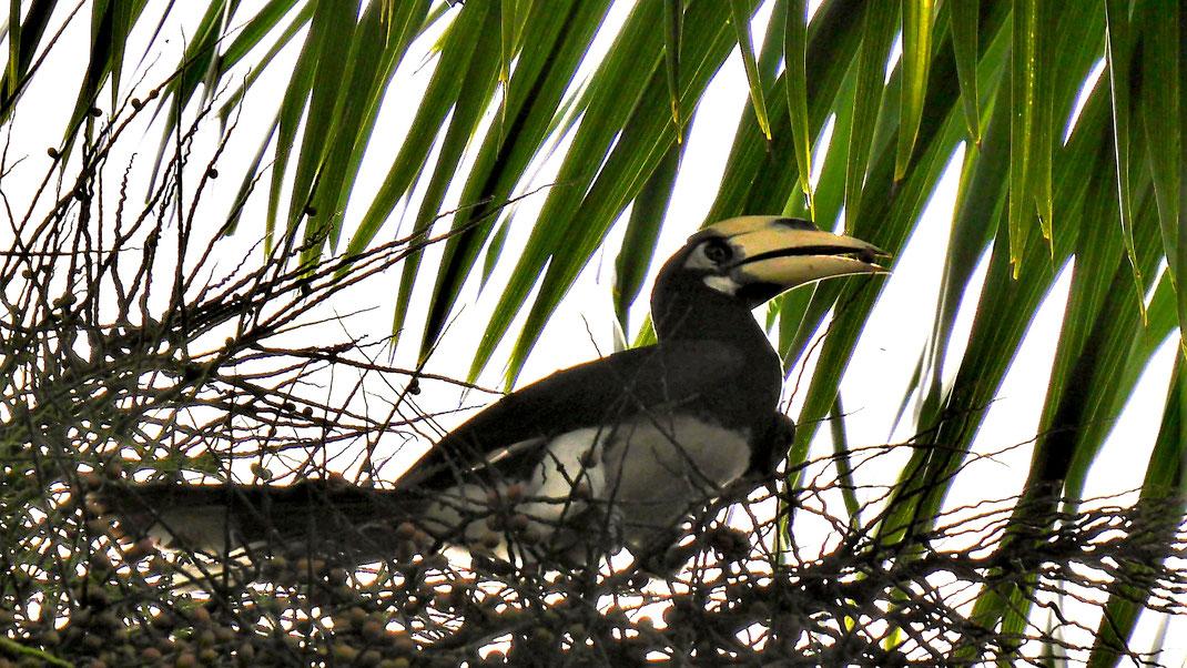 Ein wunderbarer kleiner Hornbill - ein Nashornvogel, Langkawi, Malysia (Foto Jörg Schwarz)