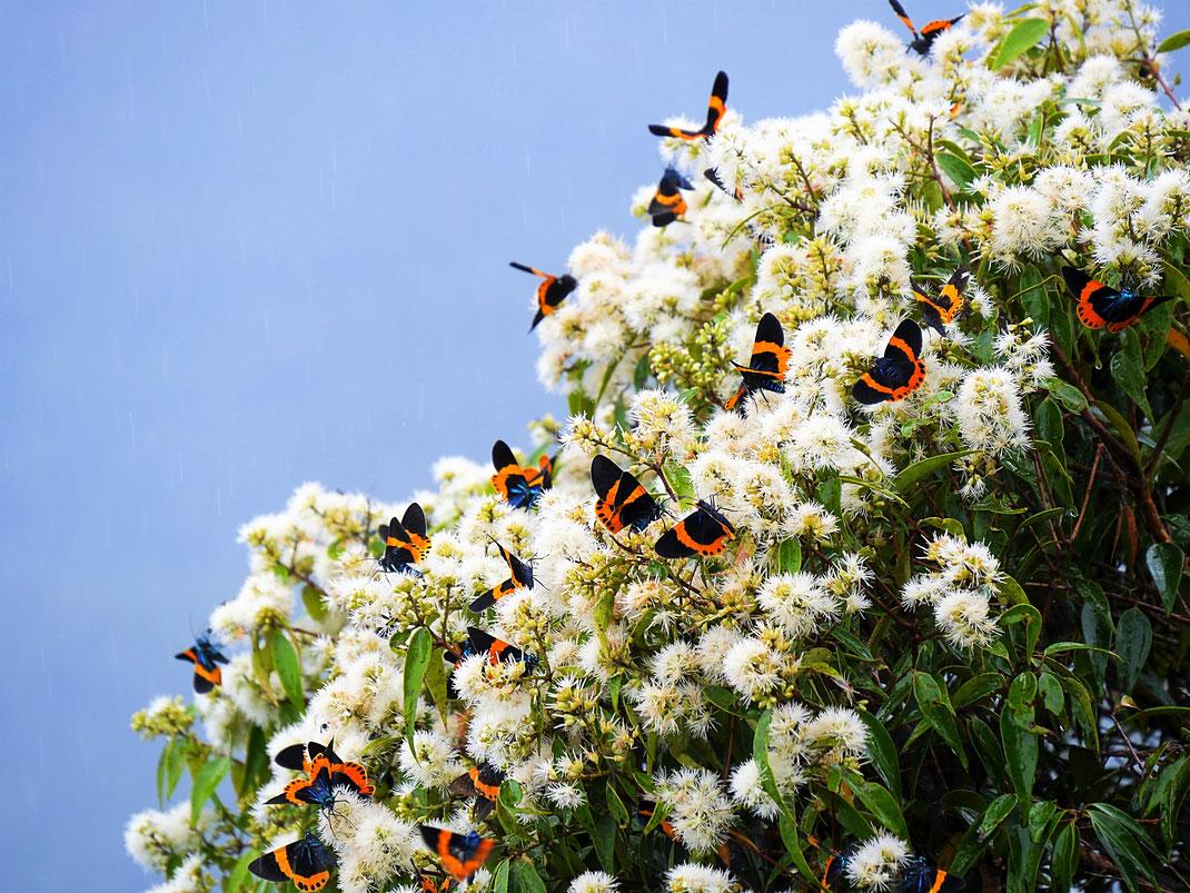 Wie schön ist das denn bitte?  Hunderte von Schmetterlingen tummeln sich auf dem höchsten Punkt der Insel in diesen Blüten... Langkawi, Malaysia (Foto Jörg Schwarz)
