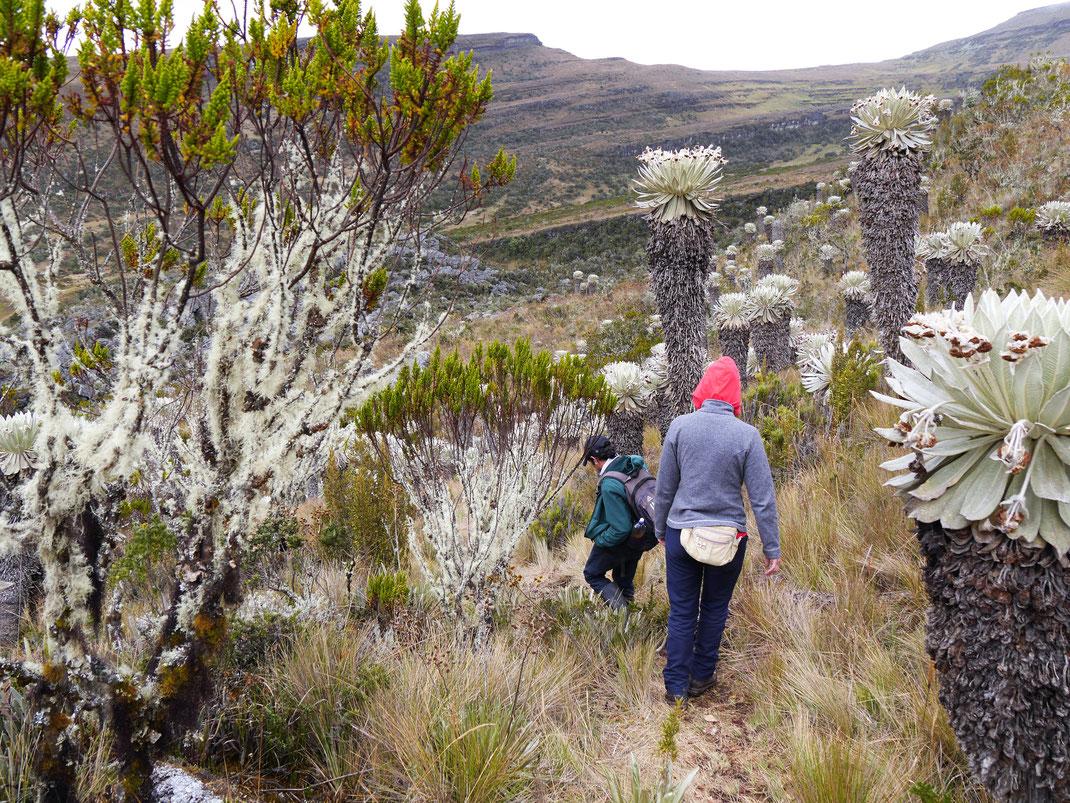 Am Ziel bei etwa 3.800 m - vollendete Páramovegetation? Páramo de Oceta, bei Monguí, Kolumbien (Foto Jörg Schwarz)