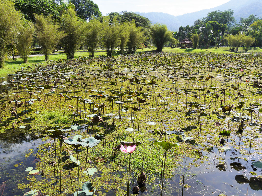 In den Senken der alten Zinnminen hat die Stadt einen wunderbaren Lakegarden mit Seen und Grünflächen angelegt, Taiping, Malaysia (Foto Jörg Schwarz)