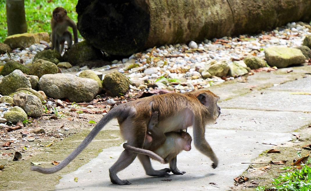Eine Makakenhorde kreuzt unseren Weg nimmt von uns aber kaum Notiz... Taiping, Malaysia (Foto Jörg Schwarz)