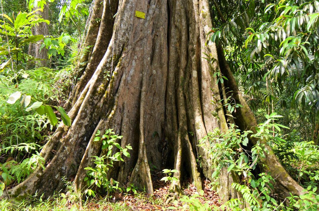 Ich kann mich an diesen wunderschönen lebendigen Bäumen nicht sattsehen... Taiping, Malaysia (Foto Jörg Schwarz)
