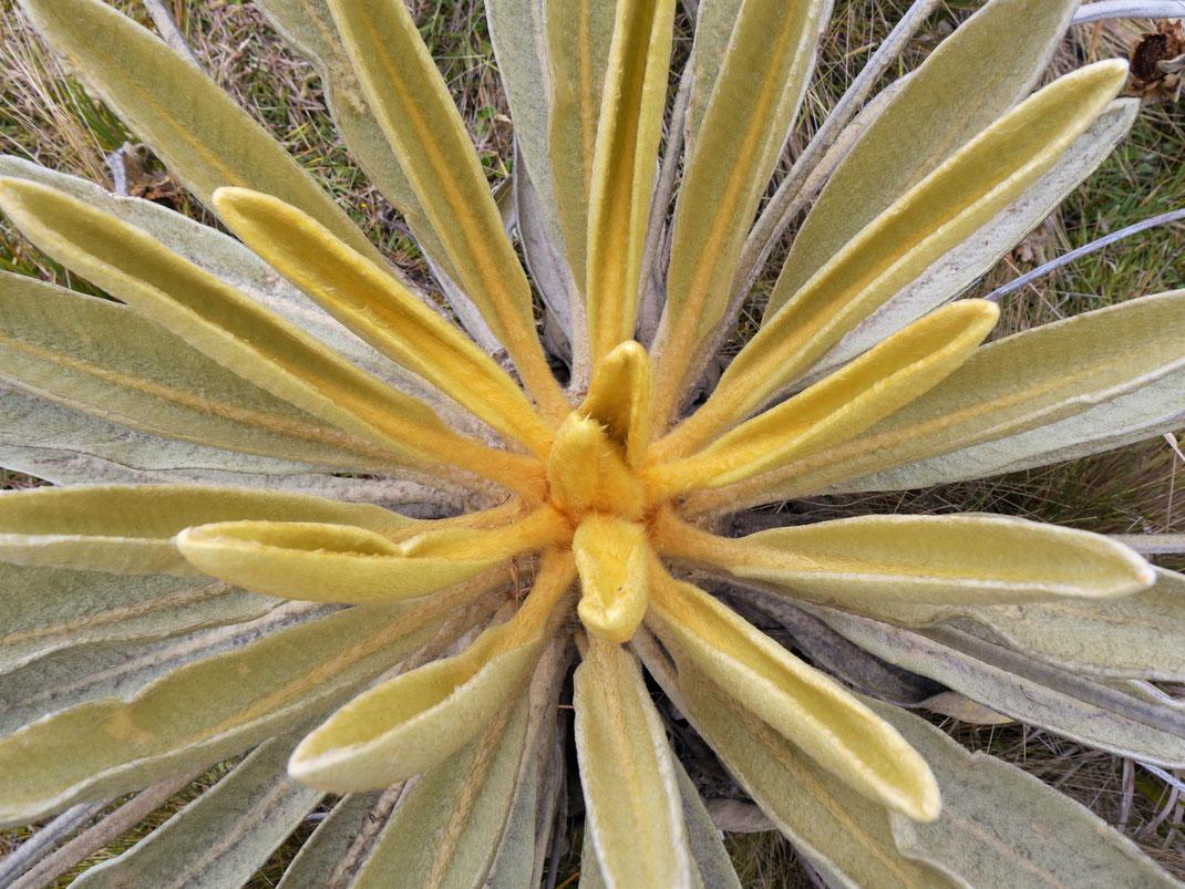 Fühlen sich an wie Filz diese Blätter, Monguí, Kolumbien (Foto Jörg Schwarz)