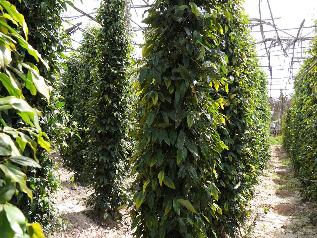 Eine typische Kultivierungsform des Pfeffers: Die Pflanzen werden hochgebunden, statt auf dem Boden zu liegen... Region Kep, Kambodscha (Foto Jörg Schwarz)