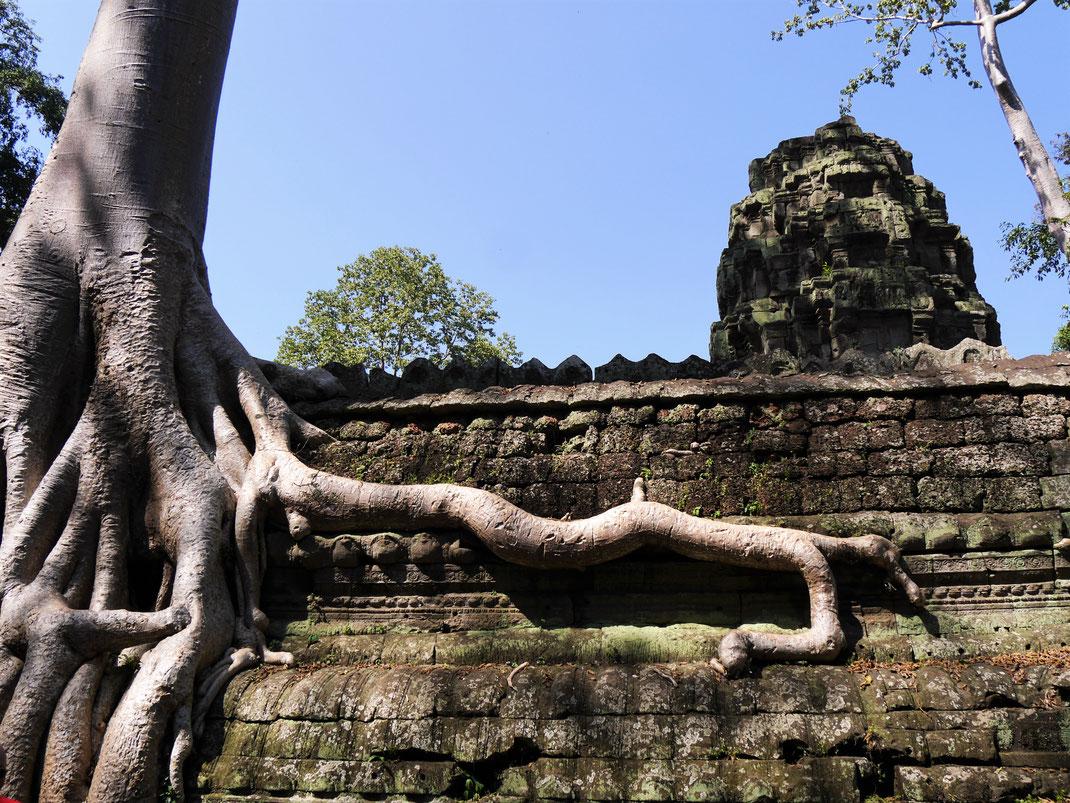 Ein sehr besonderer Mix aus Kultur/Natur... Ta Prohm, Kambodscha (Foto Jörg Schwarz)