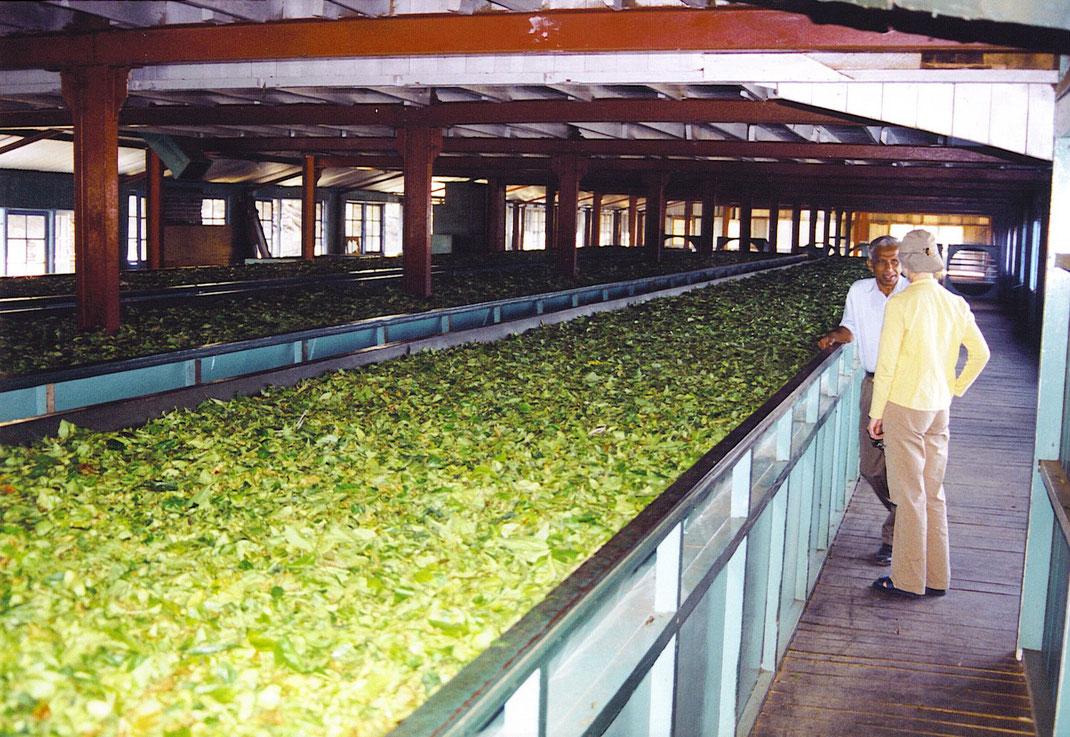 Wie wird eigentlich der berühmte Ceylontee hergestellt? (Foto Jörg Schwarz)