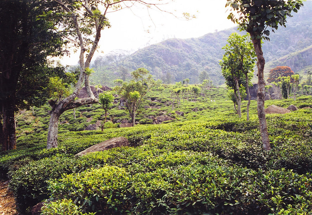 Kandy ist umgeben von Teeanbauflächen - in den Hügeln der Region sorgt das für herrliche Ausflügsziele  (Foto Jörg Schwarz)