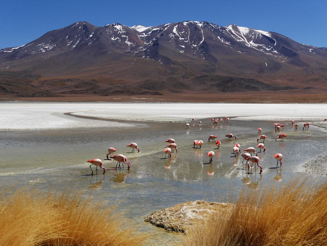 Immer wieder Lagunen mit unzähligen faszinierenden Flamoingos, Reserva Nacional de Fauna Andina Eduardo Avaroa, Bolivien (Foto Jörg Schwarz)