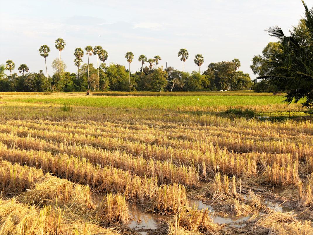 Als die Sonne untergeht, erstrahlen die Reisfelder in atemberaubendem Orange... Bei Takeo, Kambodscha (Foto Jörg Schwarz)