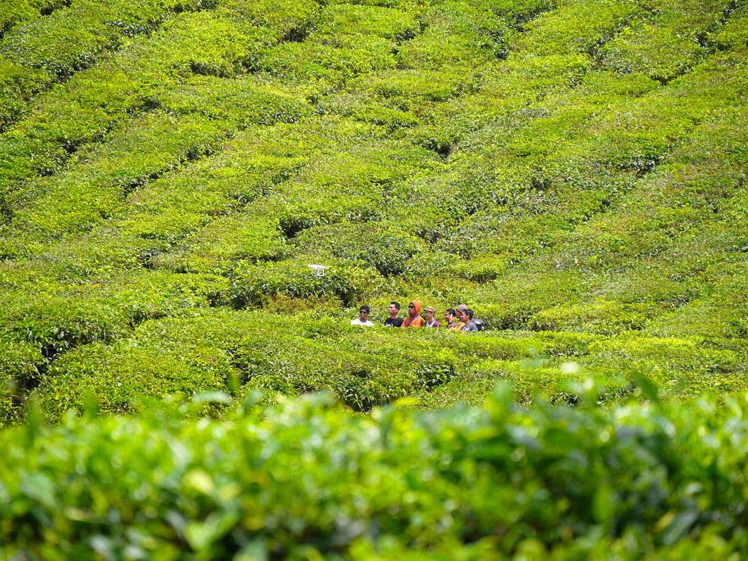 Fotodrohnen über dem Teefeld: Geht es hier eigentlich noch um Tee oder den Narzissmus am eigenen Bild? Cameron Highlands, Malaysia (Foto Jörg Schwarz)