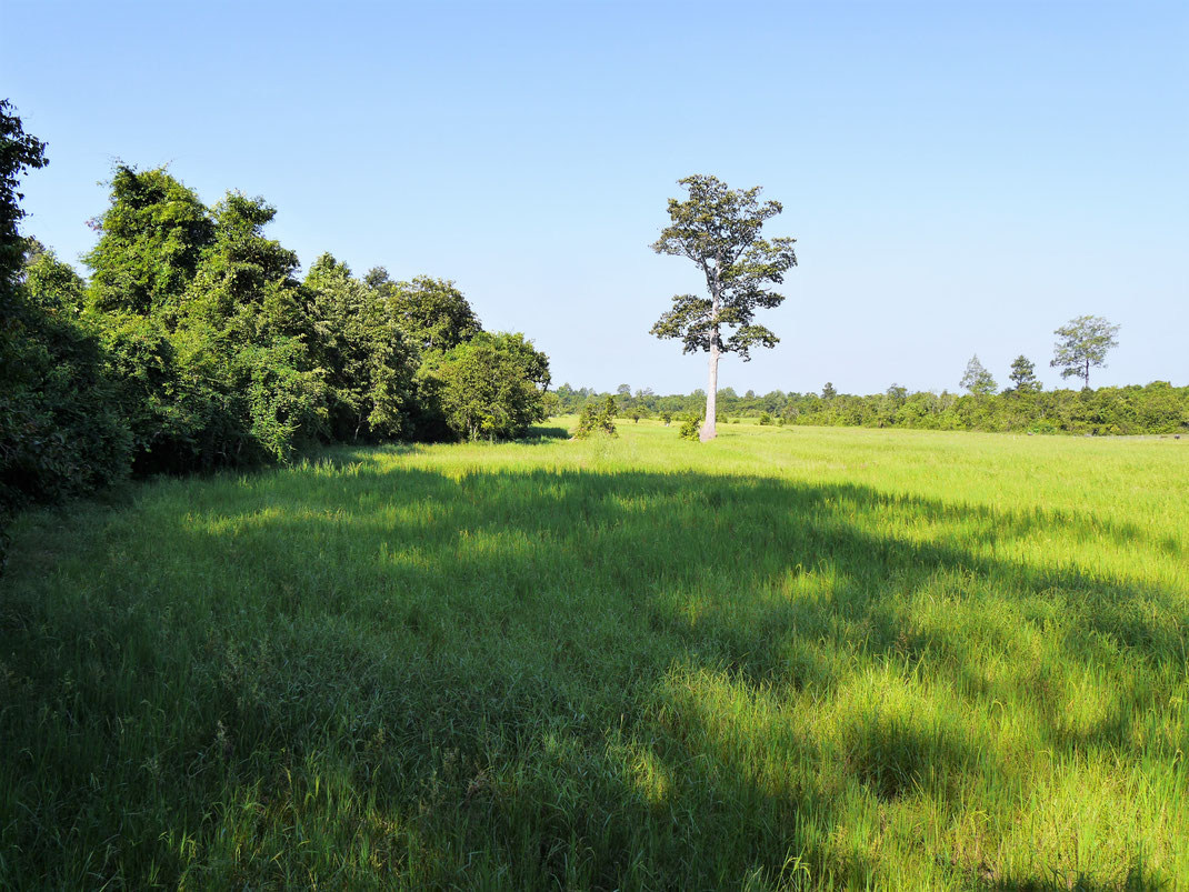 Reis soweit das Auge blickt und damit ist auch klar: Alles hier steht im Wasser... Bei Siem Reap, Kambodscha (Foto Jörg Schwarz)