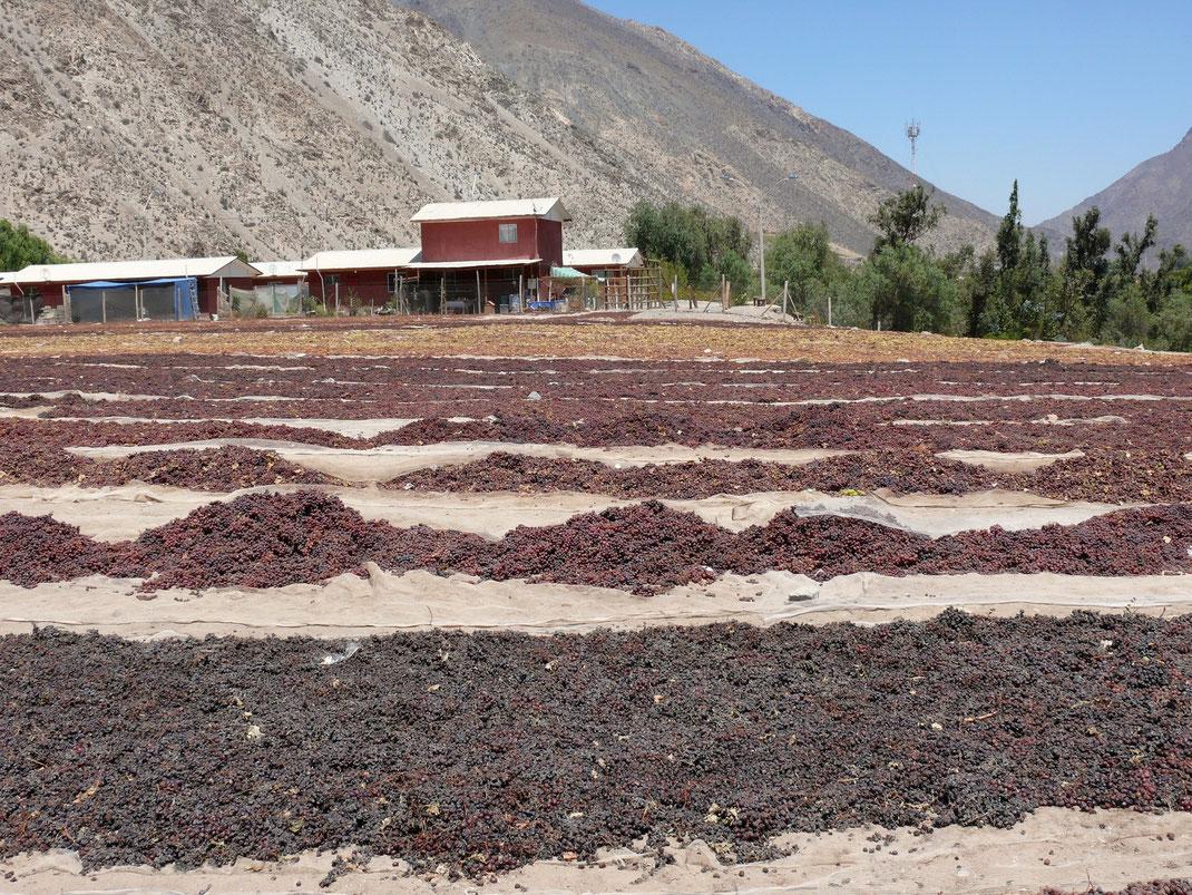 Trauben satt: Hier werden Trauben für die Pisco-Produktion und andere Verwendungen weiterverarbeitet... (Foto Jörg Schwarz)
