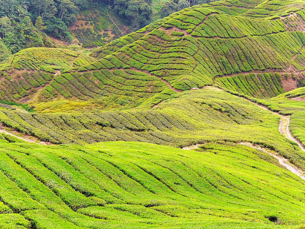 Die Landschaft wirkt wie von einem samtenen Teppich aus Tee überzogen... Cameron Highlands (Foto Jörg Schwarz)
