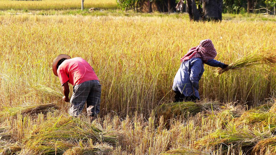 Zeit für die Reisernte 2018! Provinz Takeo, Kambodscha (Foto Jörg Schwarz)