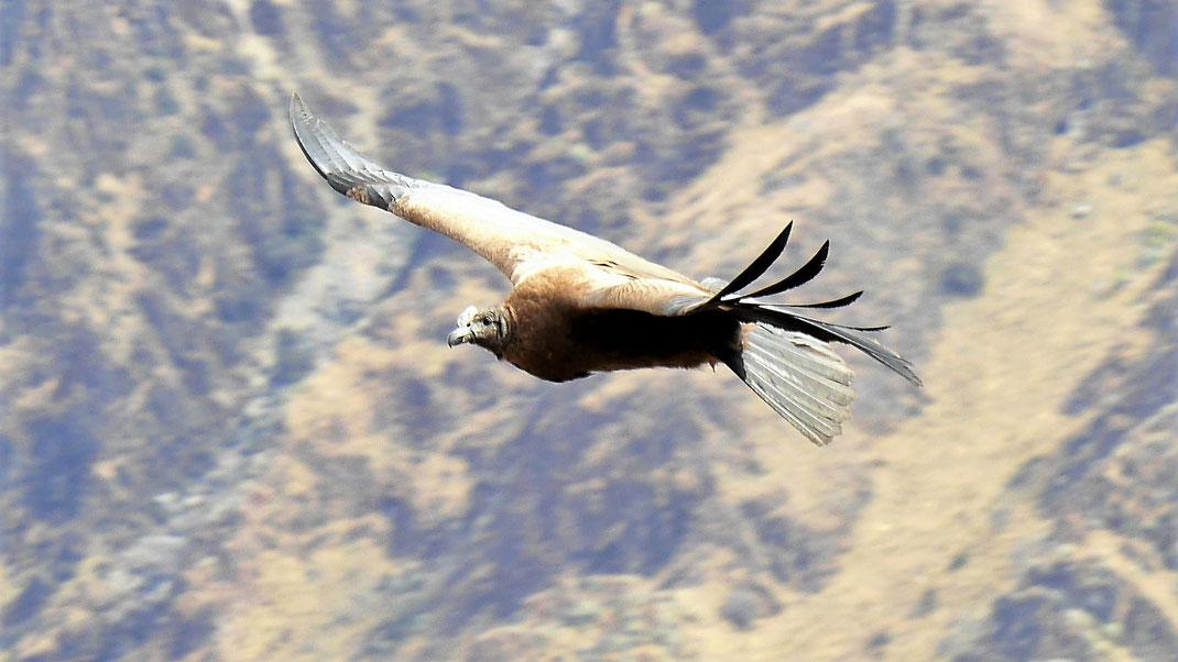Je näher desto schwerer in Flug zu treffen - ein junger Kondor, Cruz del Condor, Peru (Foto Jörg Schwarz)