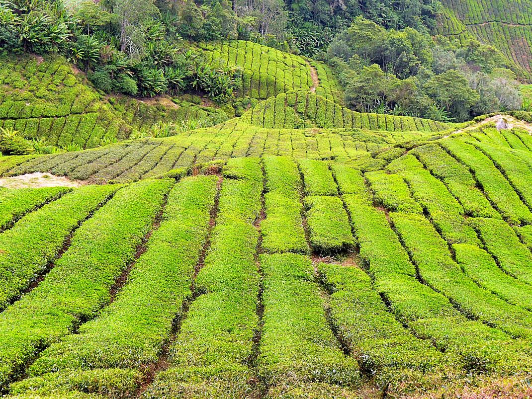 Wie ein Teppich auf der Erde... Cameron Highlands, Malaysia (Foto Jörg Schwarz)