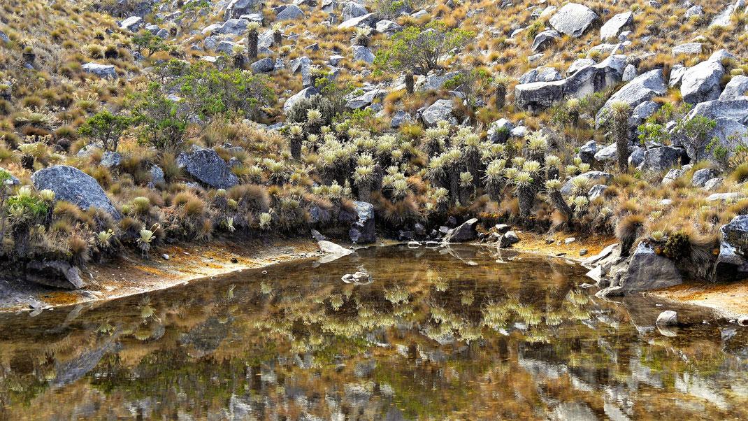 Zwischendurch immer mal wieder kleine Lagunen in denen sich die Frailejónes spiegeln, Parque Nacional del Cocuy, Kolumbien (Foto Jörg Schwarz)