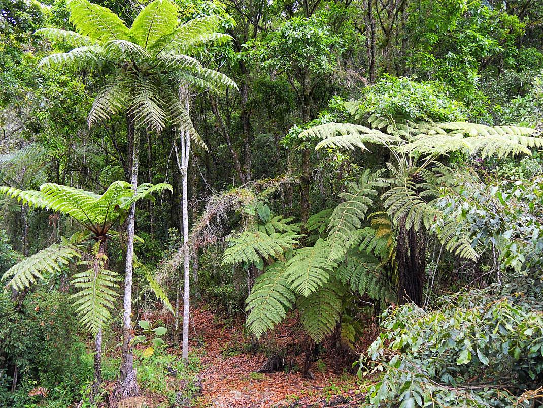 Yarumo-Bäume sind eine Seltenheit... Gachantivá, Kolumbien (Foto Jörg Schwarz)
