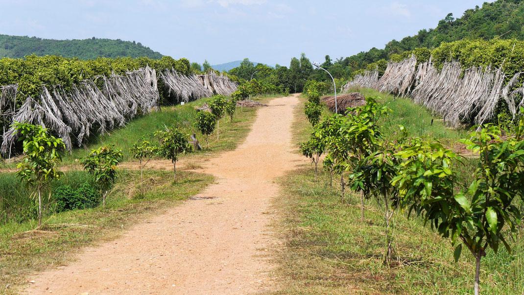 Pfefferfarmen in ländlicher Umgebung, Region Kep, Kambodscha (Foto Jörg Schwarz)