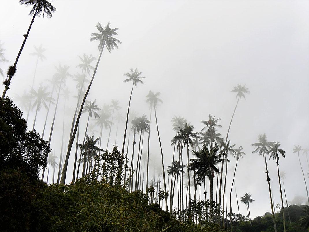 Surreal anmutendes Schauspiel der Wachspalmen im Zusammenspiel mit den Wolken, Valle de Cocora, Kolumbien (Foto Jörg Schwarz)